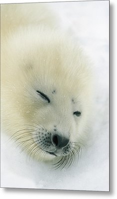 A  Newborn Harp Seal Pup In Its Thin Metal Print by Norbert Rosing