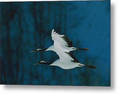 A Perfect Formation Of Two Japanese Or Metal Print by Tim Laman