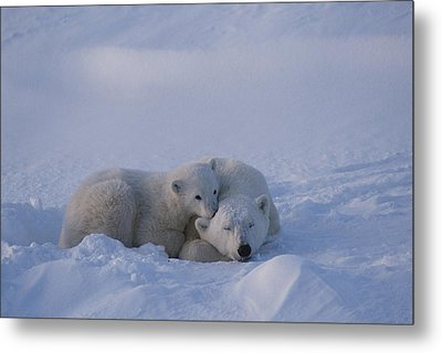A Polar Bear Cub Ursus Maritimus Rests Metal Print by Tom Murphy