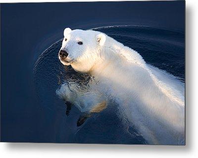 A Polar Bear Glance Metal Print by Ira Meyer