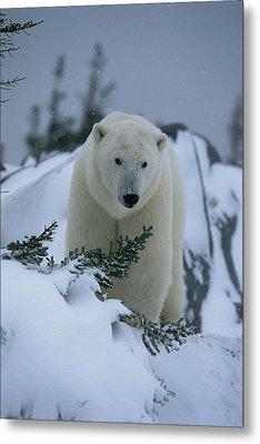 A Polar Bear In A Snowy, Twilit Metal Print by Norbert Rosing