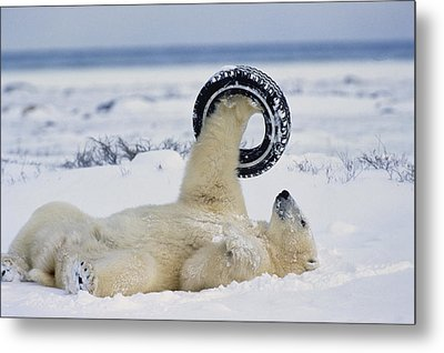 A Polar Bear Plays With Metal Print by Norbert Rosing