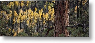 A Ponderosa Pine Tree Among Aspen Trees Metal Print by Bill Hatcher