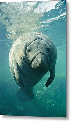 A Portrait Of A Florida Manatee Metal Print by Brian J. Skerry