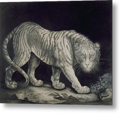 A Prowling Tiger Metal Print by Elizabeth Pringle