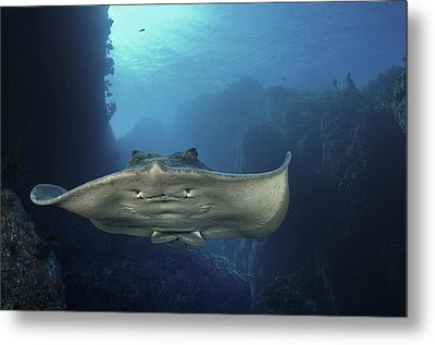 A Short-tailed Stingray Swimming In An Metal Print
