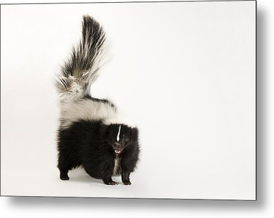 A Striped Skunk, Mephitis Mephitis Metal Print by Joel Sartore