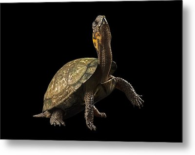 A Threatened Bog Turtle At Zoo Atlanta Metal Print by Joel Sartore