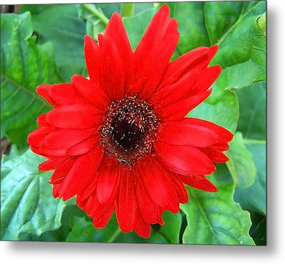 Metal Print featuring the photograph A True Red by Sandi OReilly