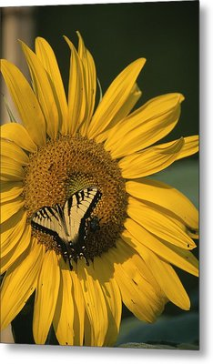 A Yellow Swallowtail Metal Print by Taylor S. Kennedy