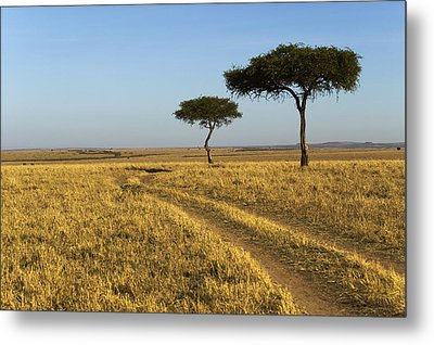 Acacia Trees In The Maasai Mara Metal Print by Nigel Hicks