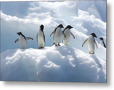 Adelie Penguins Lined Up On An Iceberg Metal Print