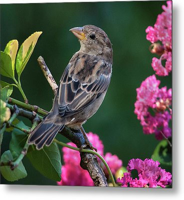 Adorable House Finch Metal Print by Jim Moore