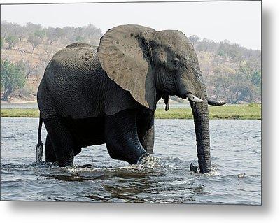 African Elephant - Bathing Metal Print