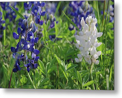 Metal Print featuring the photograph Albino And Blue Bluebonnet by Robyn Stacey