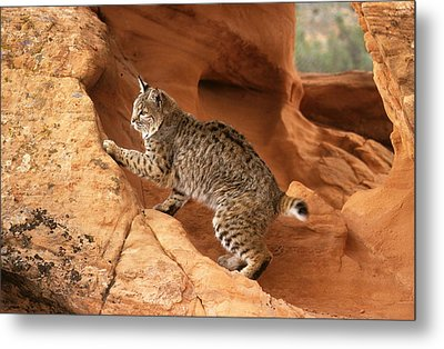 Alert Bobcat Metal Print by Larry Allan