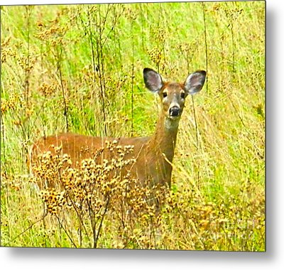 Alert White Tail Doe In Field Metal Print