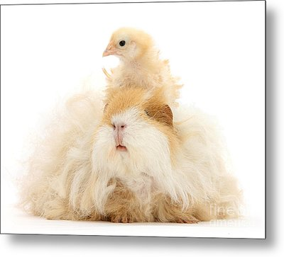 All Frizzed Up And Ready To Go Metal Print