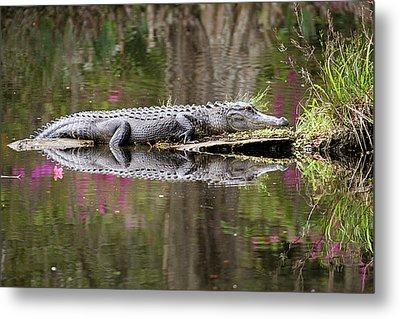 Alligator Sunbathing Metal Print by Daniela Duncan