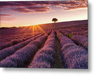 Amazing Lavender Field At Sunset Metal Print by Evgeni Dinev