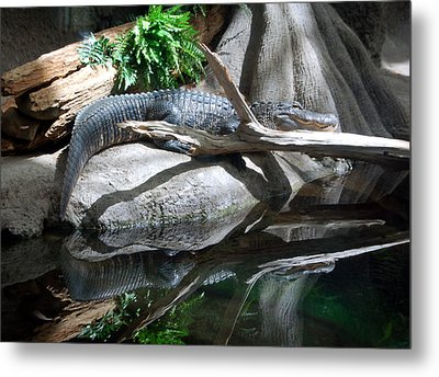 American Alligator Metal Print