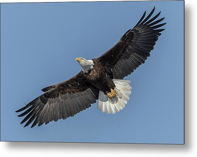 Metal Print featuring the photograph American Bald Eagle 2017-18 by Thomas Young