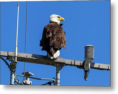 American Bald Eagle On Communication Tower Metal Print by David Gn