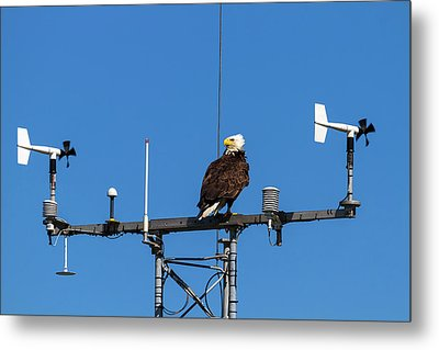 American Bald Eagle Perched On Communication Tower Metal Print by David Gn