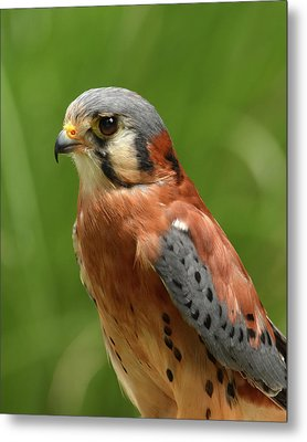 American Kestrel Metal Print by Ann Bridges