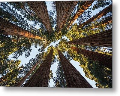 Amongst The Giant Sequoias Metal Print