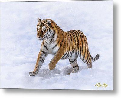 Metal Print featuring the photograph Amur Tiger Running In Snow by Rikk Flohr