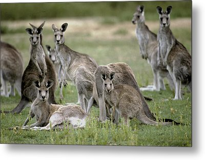 An Alert Mob Of Eastern Grey Kangaroos Metal Print by Jason Edwards