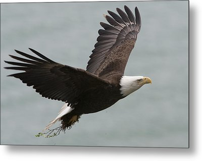 An American Bald Eagle Soaring Metal Print by Roy Toft