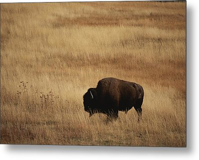 An American Bision In Golden Grassland Metal Print by Michael Melford