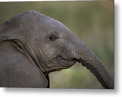 An Eight-month-old Elephant Calf Metal Print by Michael Nichols