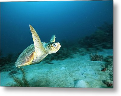 An Endangered Loggerhead Turtle Metal Print by Brian J. Skerry