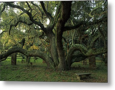 An Old Live Oak Draped With Spanish Metal Print