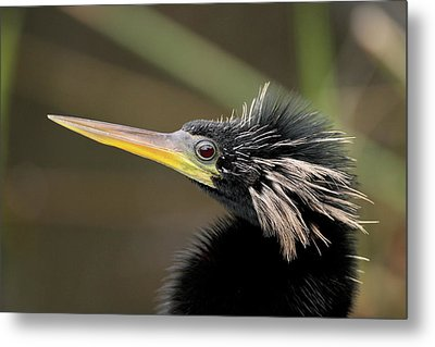 Anhinga Close-up Metal Print by Brian Magnier