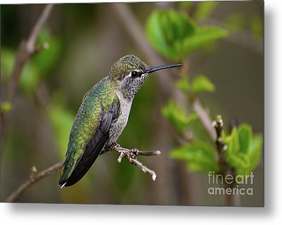 Anna's Hummingbird On Lime Tree Metal Print
