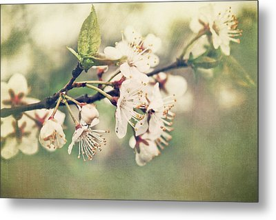 Apple Blossom Branch In Early Spring Metal Print by Sandra Cunningham