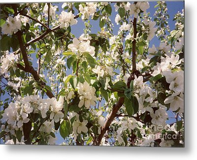 Apple Blossom Metal Print by Sonya Chalmers