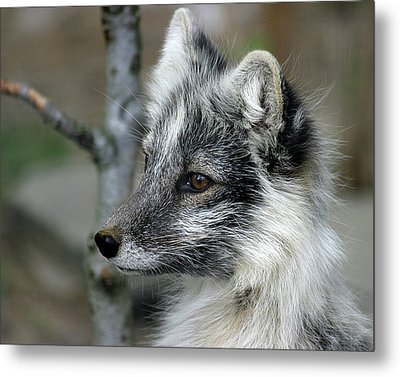 Arctic Fox In Spring Metal Print