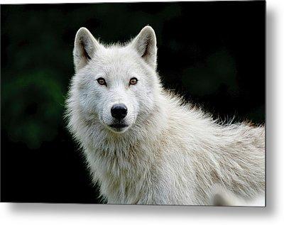 Arctic Wolf Metal Print by Michael Cummings