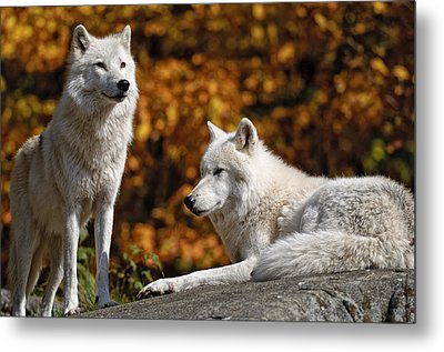 Metal Print featuring the photograph Arctic Wolves On Rocks by Michael Cummings