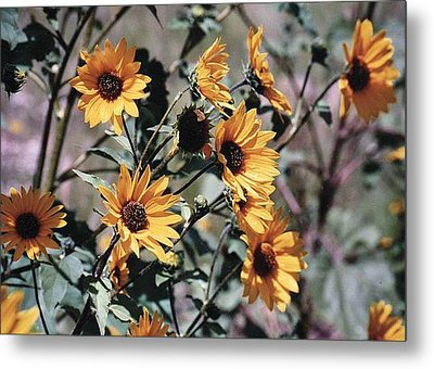 Metal Print featuring the photograph Arizona Sunflowers by Juls Adams
