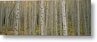 Aspen Grove In Fall, Kebler Pass Metal Print by Ron Watts