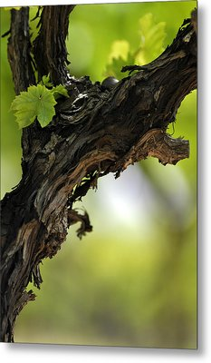Metal Print featuring the photograph At Lachish Vineyard by Dubi Roman