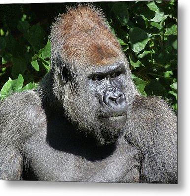 Attentive Gorilla Metal Print