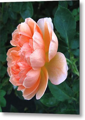 Metal Print featuring the photograph August Rose 09 by Joyce Dickens