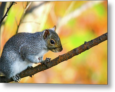 Metal Print featuring the photograph Autumn Squirrel by Karol Livote